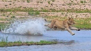 Lioness kills 2 Impala & struggles to keep vultures away...she reveals her secret...