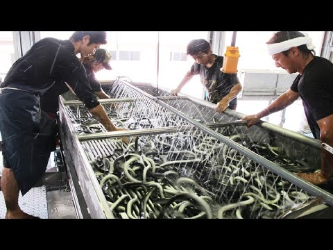 Xxx Mp4 Amazing Japan Aquaculture Technology Farm Asia Eel Grow To Harvest And Processing 3gp Sex