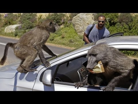 Baboon Wars South Africa