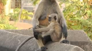 how to reared up joy bajrang bali nursari manki femali  aria location bankura india