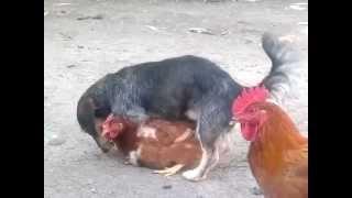 Chicken fucker dog