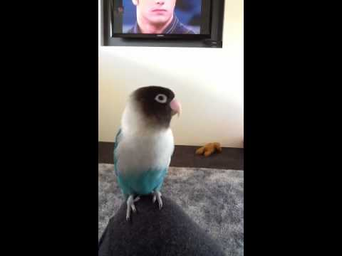 Buddy the lovebird talking!!