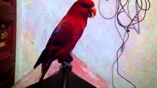 Burung Nuri Bawel