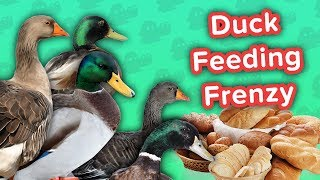 Duck Feeding Frenzy & Smiling Huskies! // Funny Animal Compilation