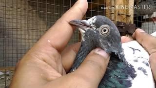 Pakistani Teddy and Kasuri Kabootar breed  - Old vs New Pigeons breed