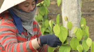 Olam  Pepper Plantation - Vietnam