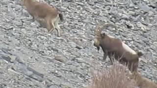 Markhor Hunting in Gilgit Baltistan | Pakistan IBEX Hunting | Wildlife in Gilgit Baltistan Pakistan