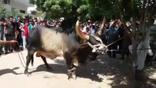 Big #Dangerous and #Beautiful Bull #Chand _Bail 2016 #Qurbani Vedio...