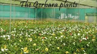 Indian Gerbera Flower Exports