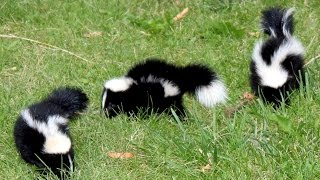 15 Amazing facts about the Skunk