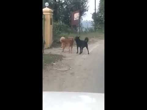 Gay dogs fucking each other...