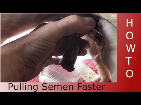 Collecting semen