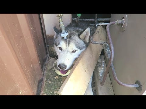 ONLY HUSKY OWNERS WOULD UNDERSTAND HUSKYOWNERPROBLEMS EP. 2
