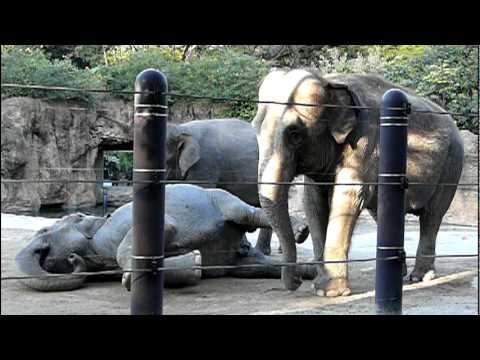 Xxx Mp4 Dust Bath Asian Elephant アジアゾウの砂浴び。 3gp Sex