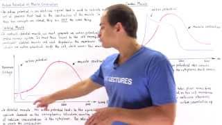 Action Potential vs. Muscle Contraction Graphs