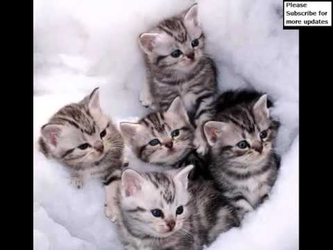 American Shorthair Grey | Set Of Cat Picture Collection