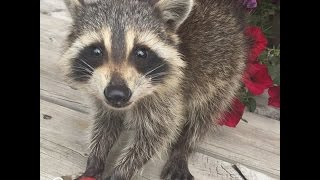 Raccoon Who Lost His Mom Gets The Best New Family