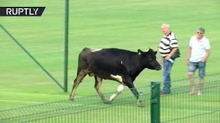 Get me out in the field! Cow interrupts friendly football match in Bulgaria