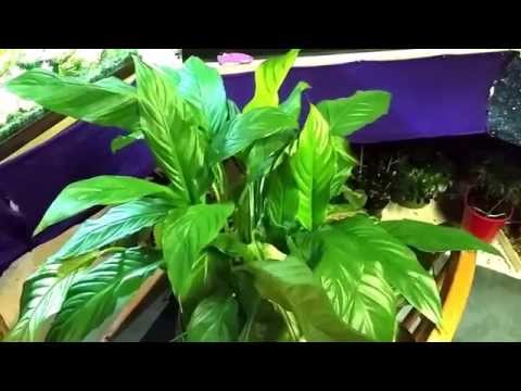 Xxx Mp4 Brazillian Sword Or Peace Lily Aquatic Plant Or Houseplant 3gp Sex