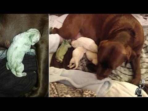 Dog Owners Shocked After Chocolate Labrador Gave Birth A GREEN Puppy