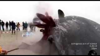 Dead Whale Explosion on Dutch Beach