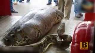 phyton snake eats drunk man