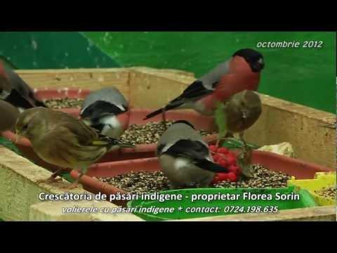 Crescatoria de pasari indigene volierele cu pasari indigene proprietar Florea Sorin