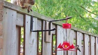Squirrel vs Hummingbird vs birdfeeder
