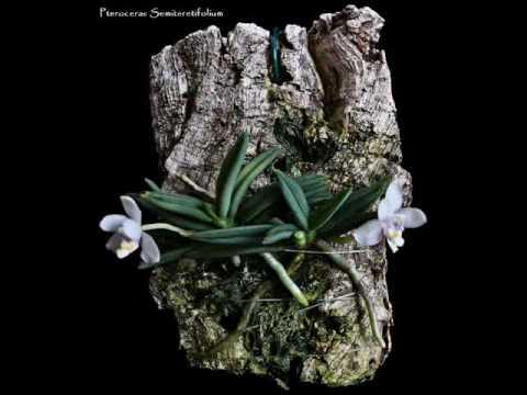 Micro Orquídeas