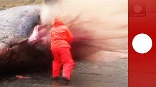 Graphic video: Dead sperm whale explodes as biologist cuts open carcass