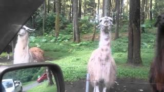 Taman safari pandaan david gombak