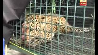 leopard trapped at binaguri forest