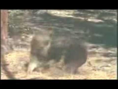 urso brigando com um leão ufc animal