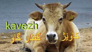 کاویژ kavezh (گفتار گاو) - #170
