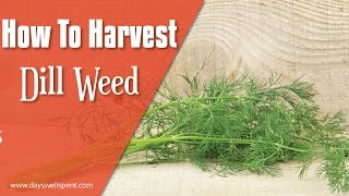 How To Harvest Dill Weed