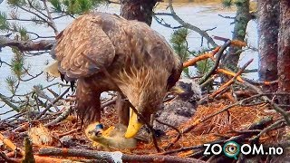 Goose Chick still ALIVE when Eagle