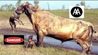 Incredible Fight Between Animals HD ينصح عدم مشاهدته لذوي القلوب الضعيفة قتال شرس بين الحيوانات