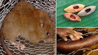 'Uromys Vika' Giant rat discovered is big it can crack Coconuts with its teeth in Solomon Islands