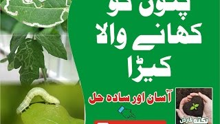 How to Make Pesticide From Neem Leaves by Nukta Gardening Urdu hindi