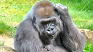 Ethiopian Animatio   Tizita by Gorilla just for fun