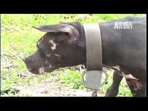 Peleas de Perros Pitbull enemigo publico numero 1