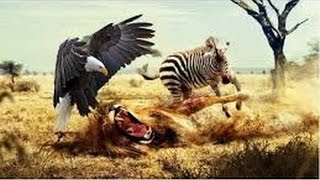 Africa Killer Birds. animal sauvage 2016
