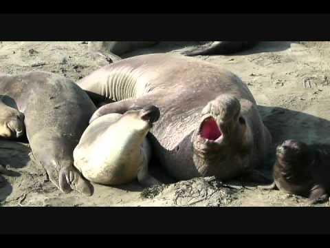 Xxx Mp4 Successful Elephant Seal Mating 3gp Sex