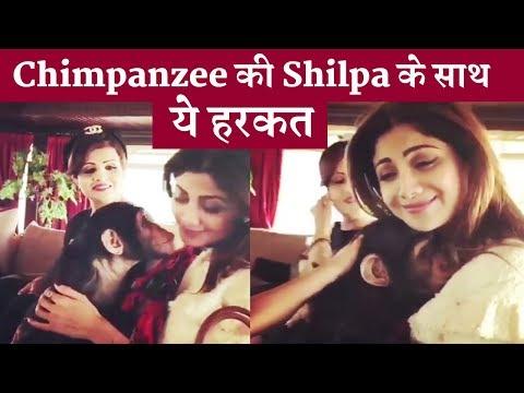 Xxx Mp4 Shilpa Shetty Kissed By A Chimpanzee Funny Chimpanzee 3gp Sex