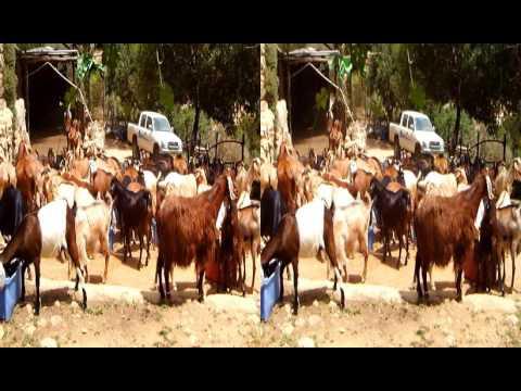 Goat farm, Sataf