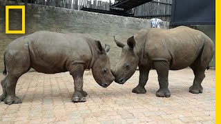 Orphaned By Poachers, a Baby Rhino Makes a New Friend   National Geographic