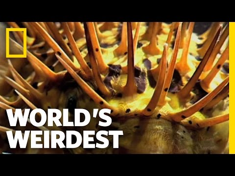 World s Weirdest Poisonous Pufferfish vs. Eel