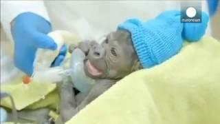 Qaliin loo Sameeyay Gorilla Daanyeer dhalmadu ku Adkaatay