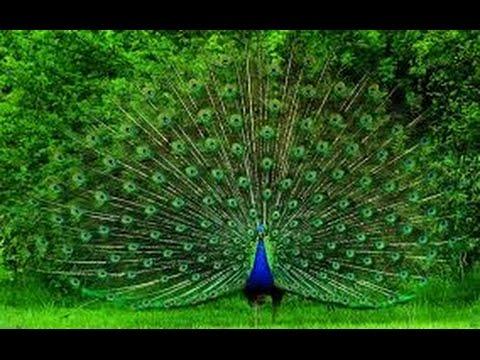 un pavo real ♀ hermoso .
