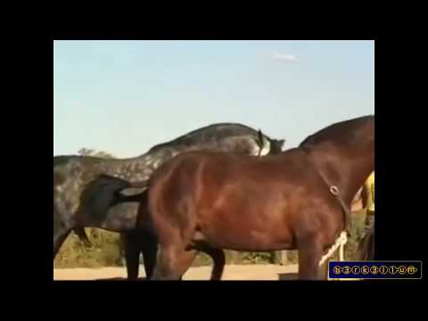 Xxx Mp4 Horse Mating Animals Mating And Human Horse Mating 2015 Horse Breeding 3gp Sex